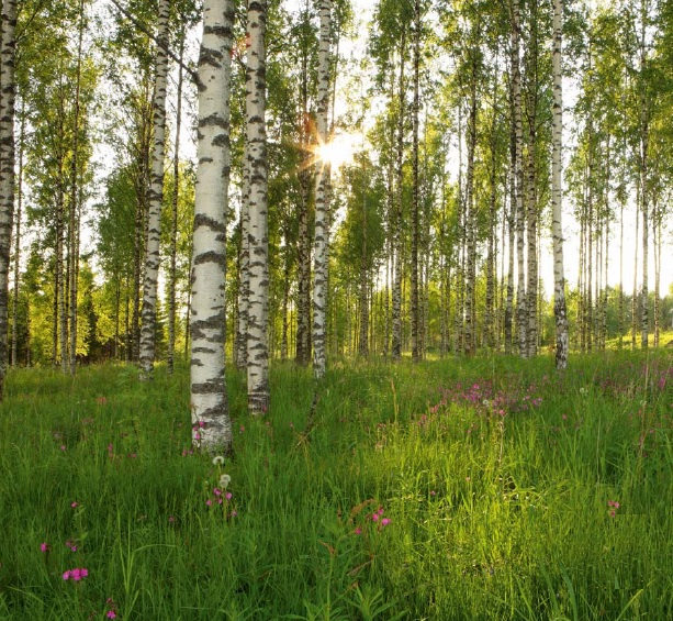 Free Download Uk Store Wall Mural Wallpaper Birch Trees Forest 368x254cm 613x565 For Your Desktop Mobile Tablet Explore 50 Wallpaper Murals Trees Wallpaper With Trees Aspen Tree Wallpaper Murals