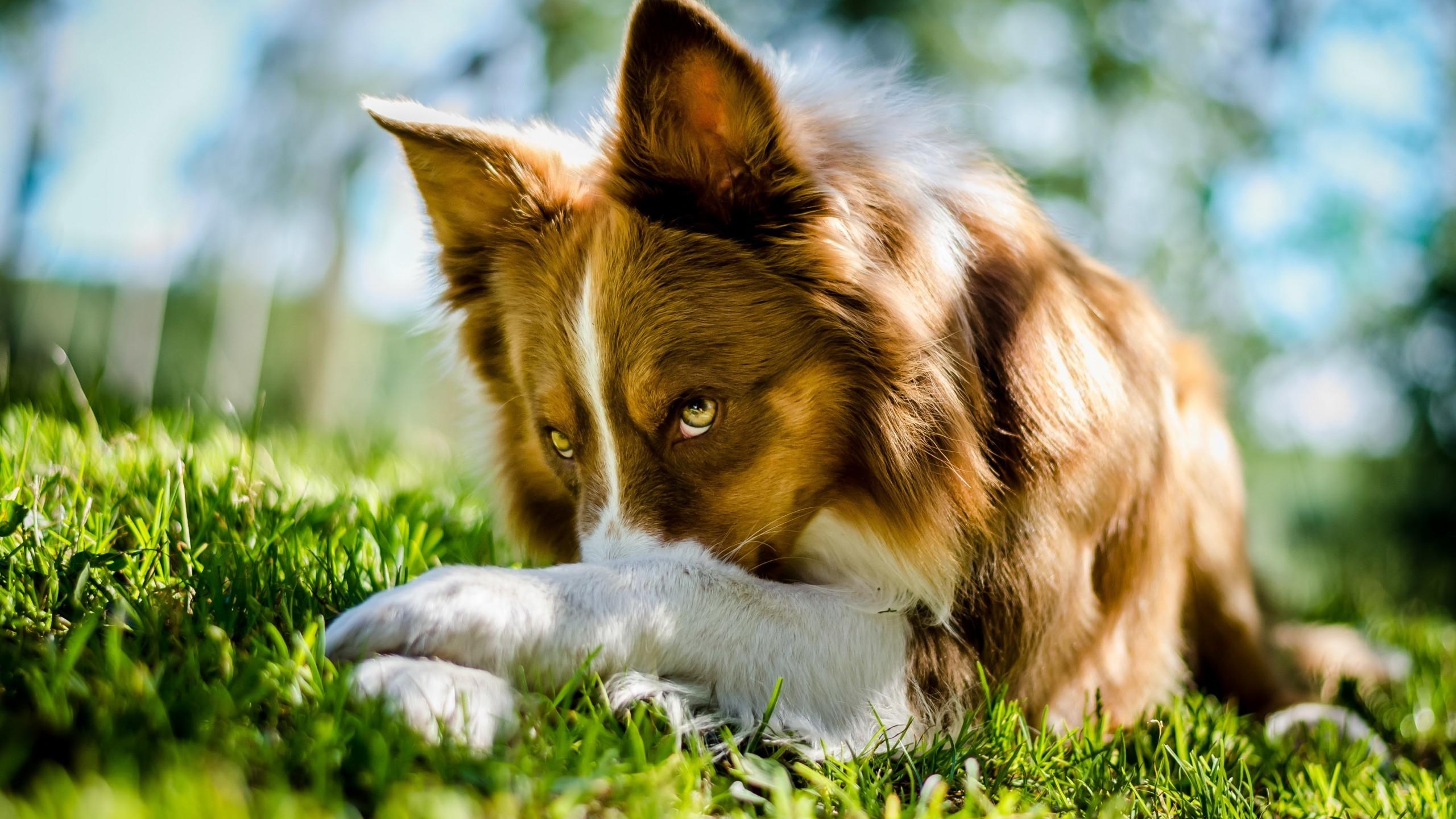 2560x1440 Beautiful Collie Dog desktop PC and Mac wallpaper 2560x1440