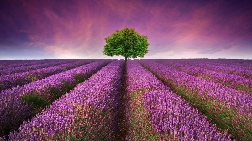 Current location Home Nature Flowers Lavender field wallpaper 804x452