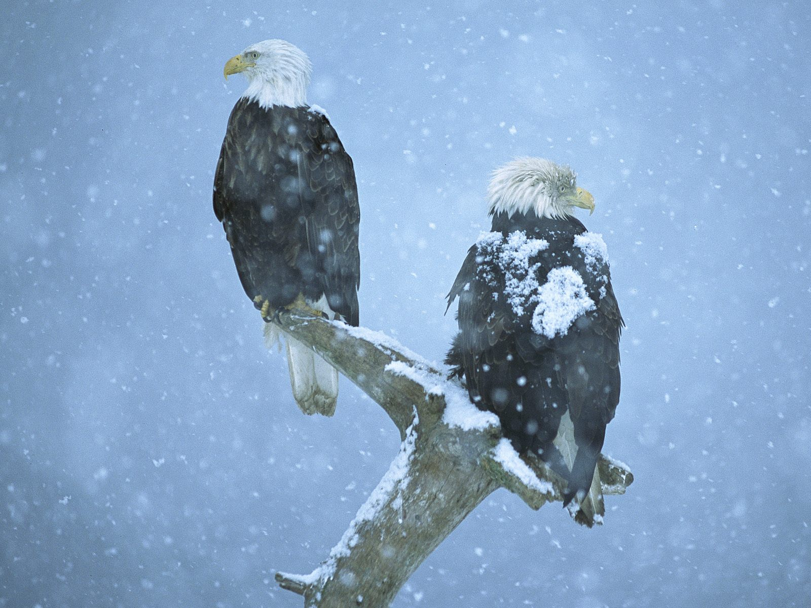 Bald Eagle HD Wallpapers 2012 1600x1200