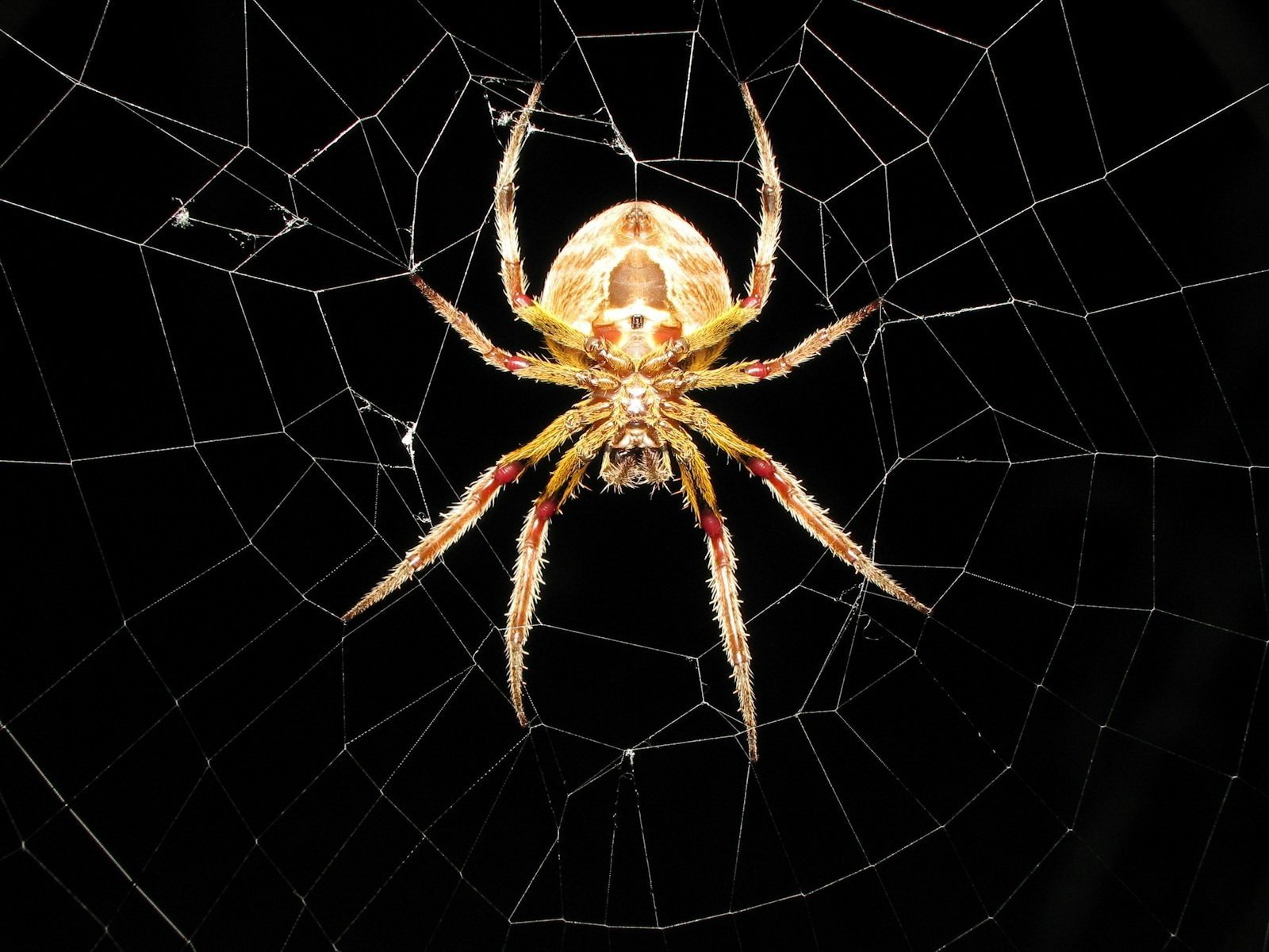 Spider Wallpapers 1600x1200