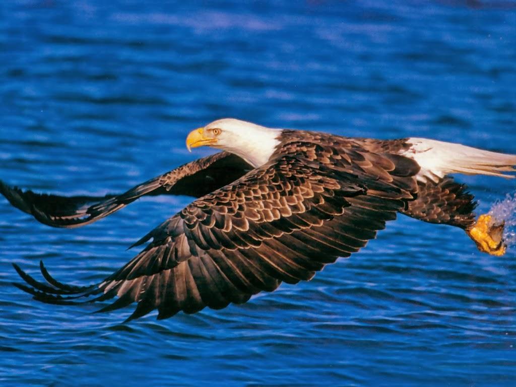 Desktop HD Wallpapers Downloads Bald Eagles HD Wallpapers 1024x768
