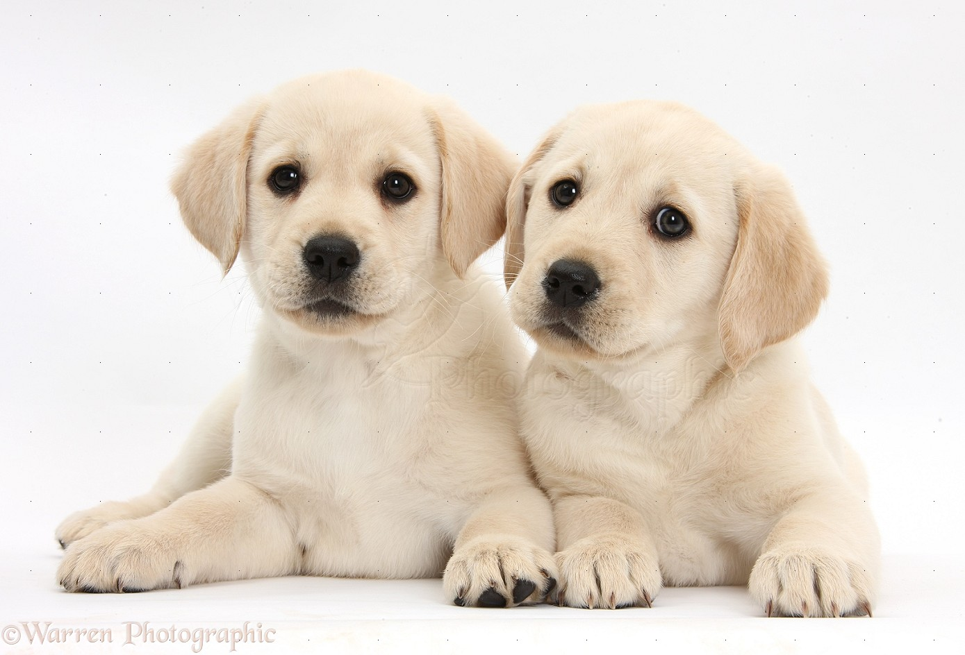 Yellow Labrador Retriever puppies 1389x944
