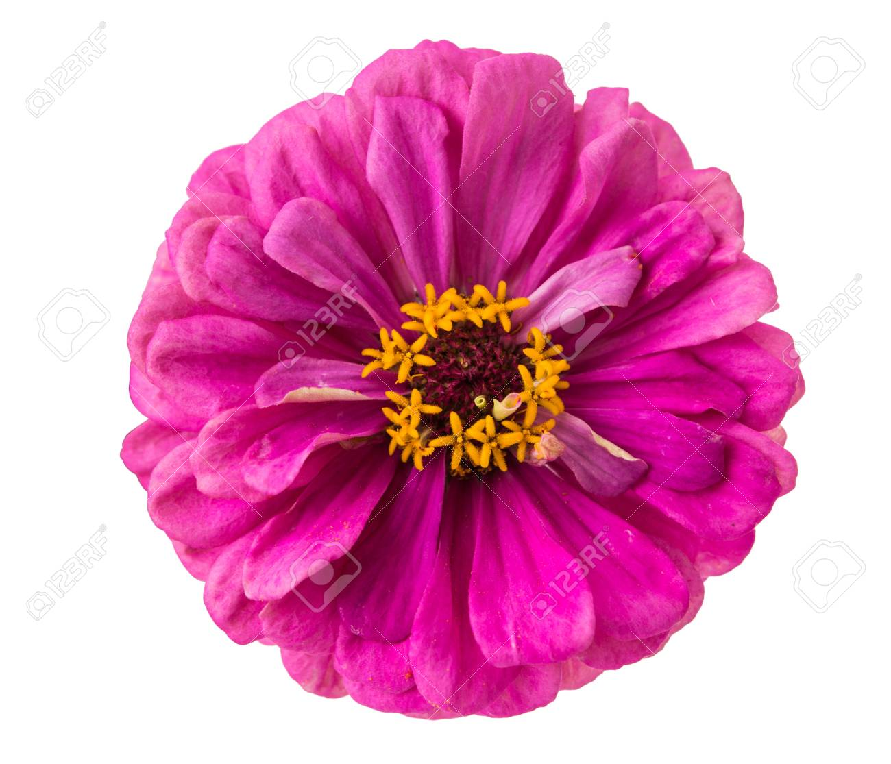 Isolated Zinnia Flower On White Background Stock Photo Picture 1300x1115