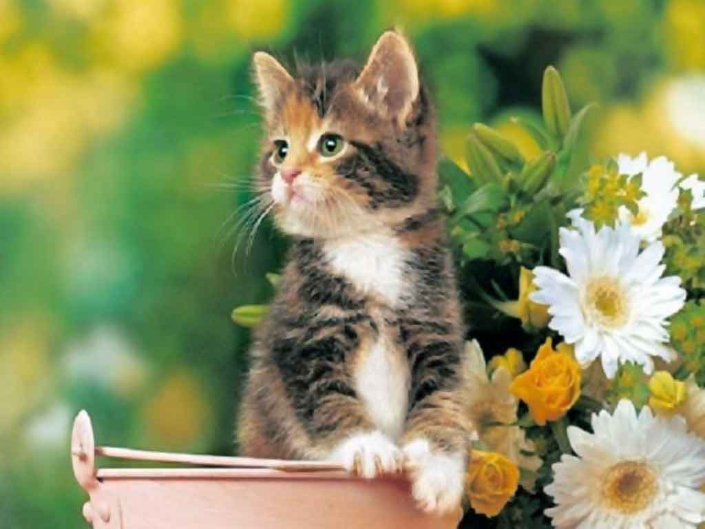 Cute kitty Wallpaper Cats Animals Wallpapers in jpg format for ...