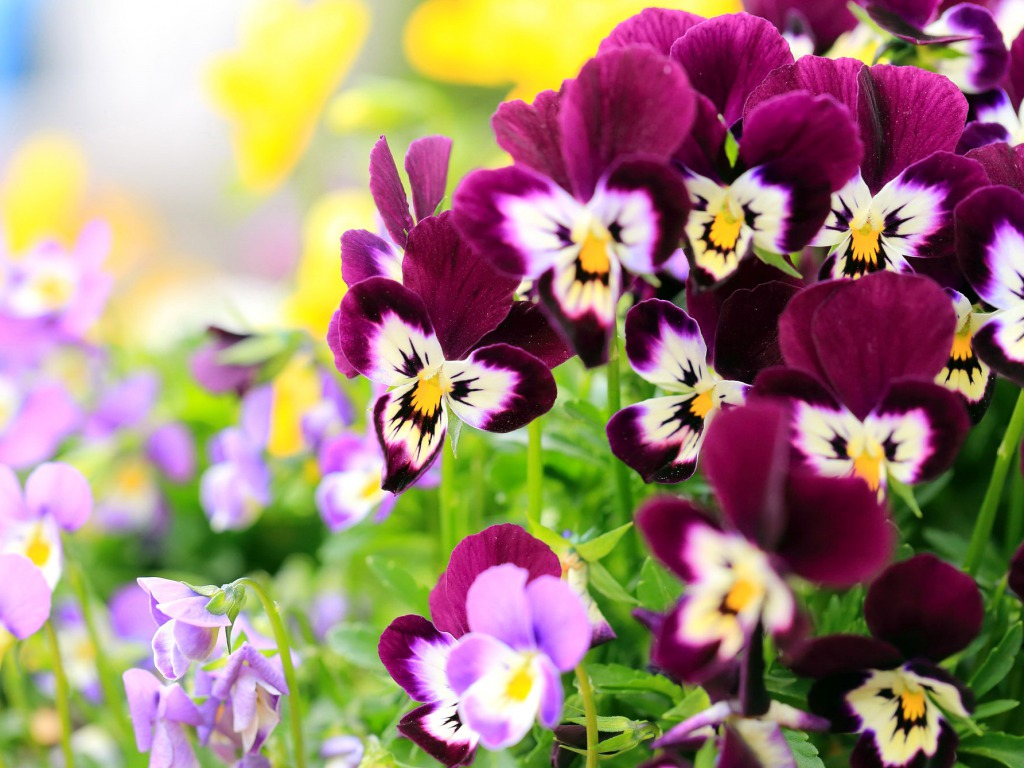 Free Download Pansy Flowers Wallpapers Hd Pictures One Hd Wallpaper 1024x768 For Your Desktop Mobile Tablet Explore 77 Flowers For Desktop Background Spring Flowers Wallpaper Most Beautiful Hd Wallpapers