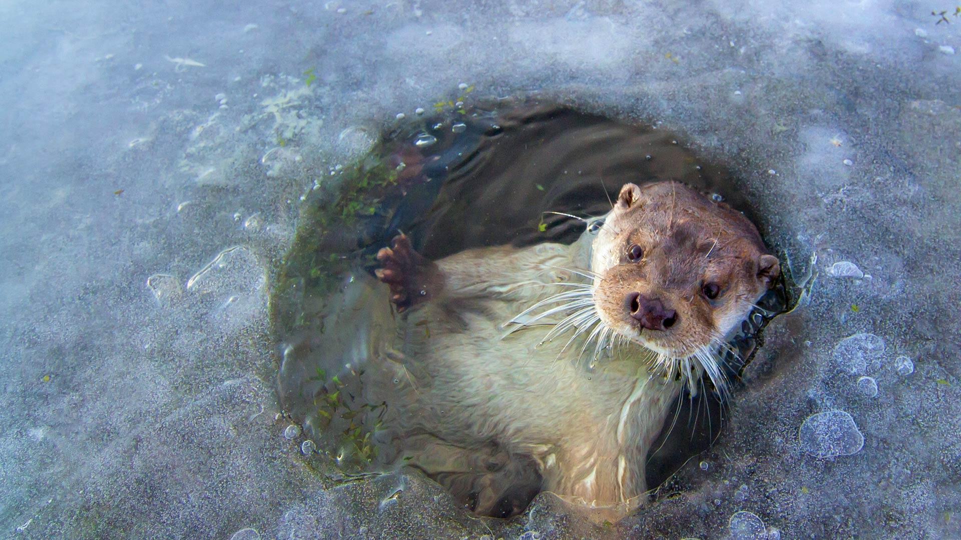 otter near Lelystad Netherlands Ernst DirksenMinden Pictures 1920x1080