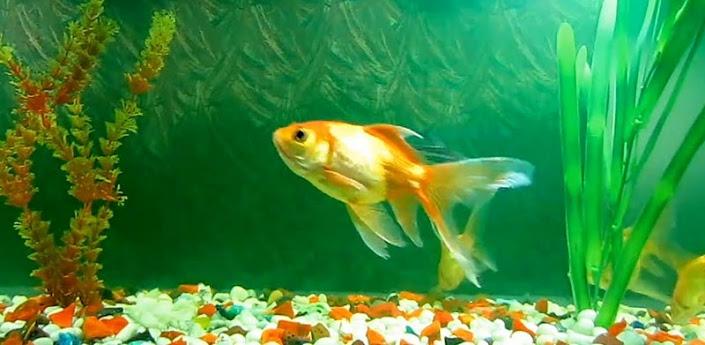 green aquarium live wallpaper green aquarium live wallpaper decorates 705x345