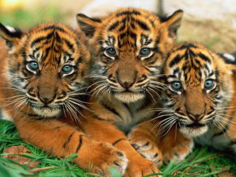 Funny wallpapersHD wallpapers tiger cub wallpaper 800x600