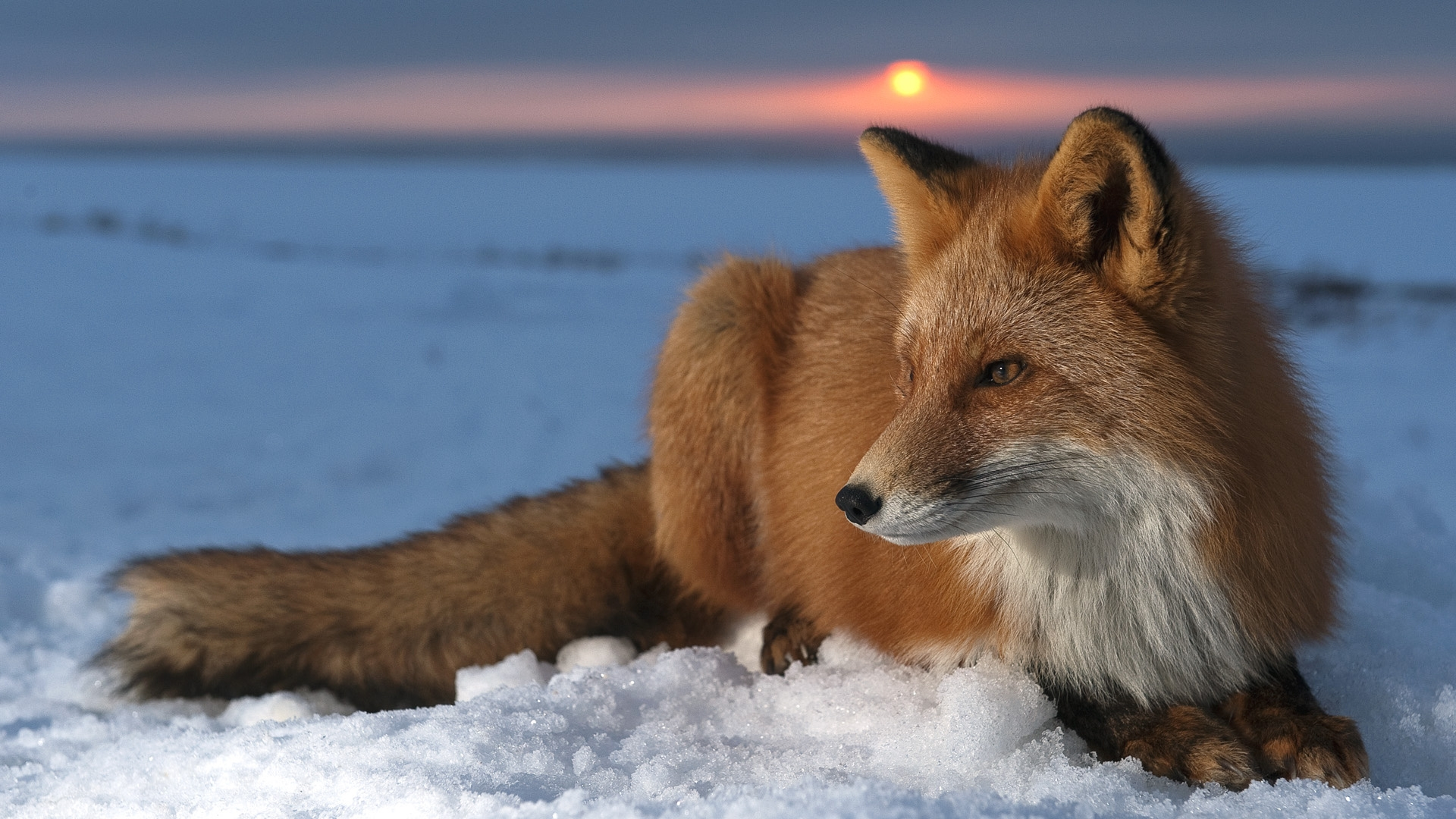 Download Wallpaper fox snow sky hunting care HD Background 1920x1080