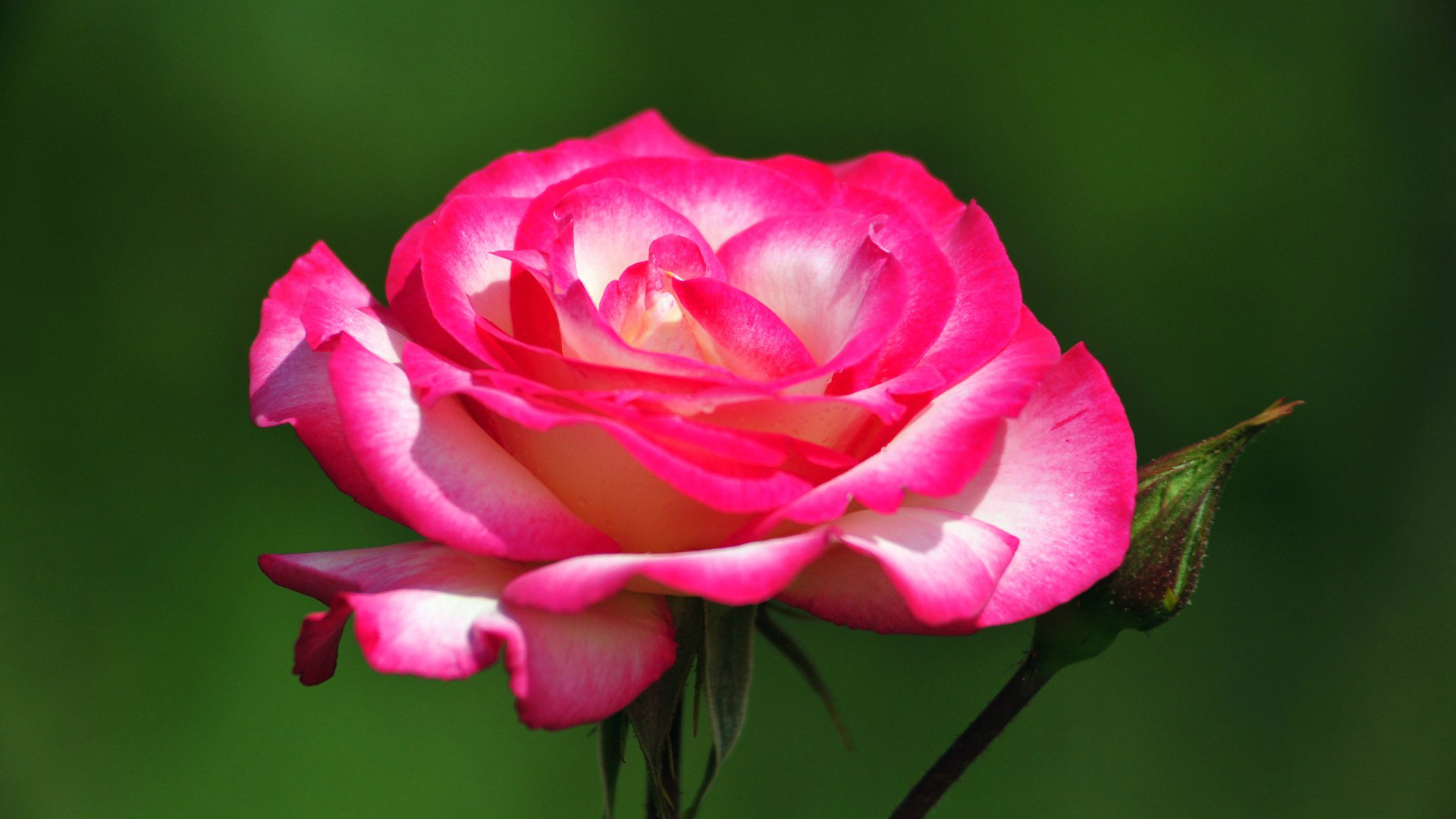 Beautiful Rose Hd Wallpapers Wallpapersafari