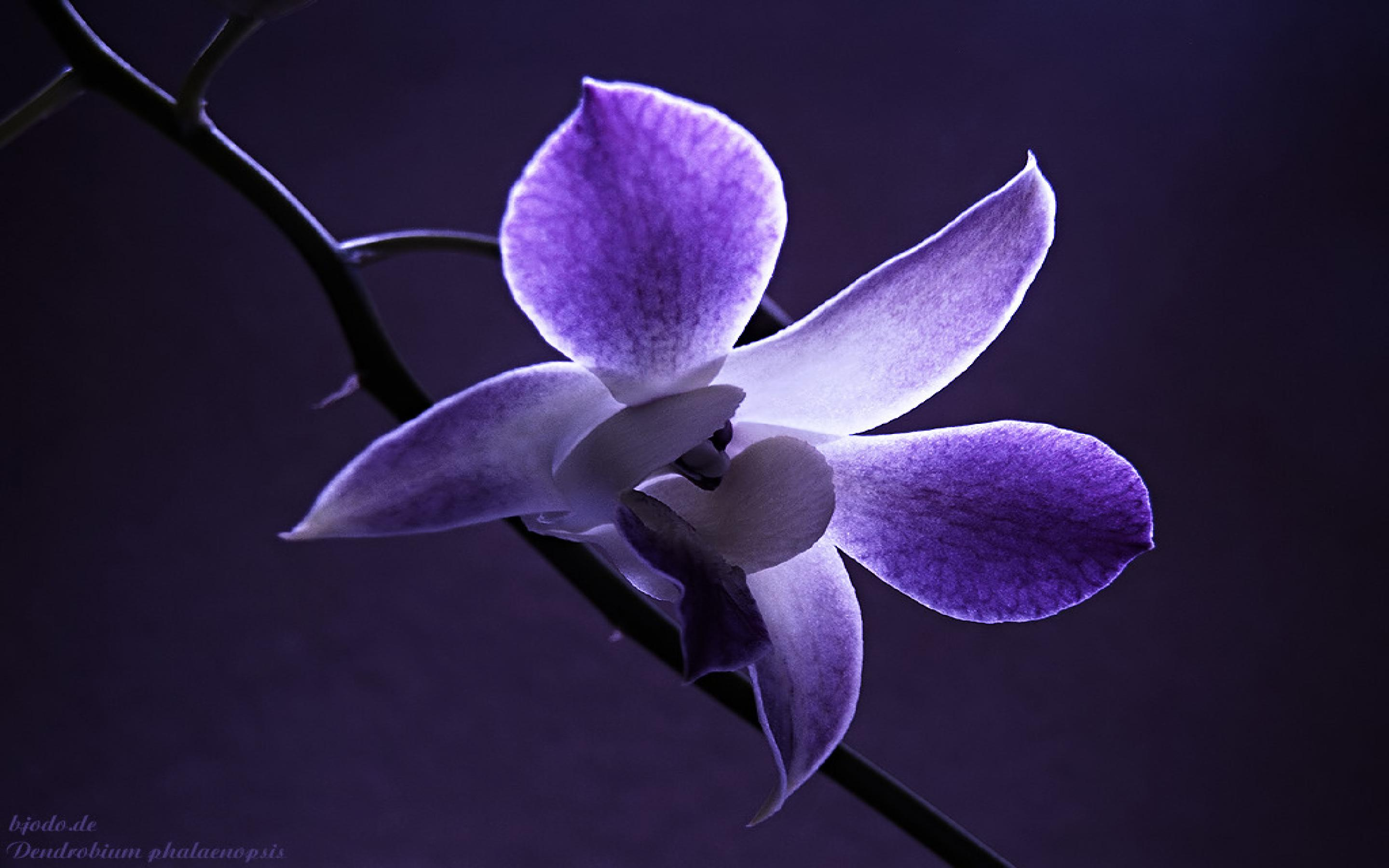 Purple Orchid Flower Wallpaper Wallpaper WallpaperLepi 2880x1800