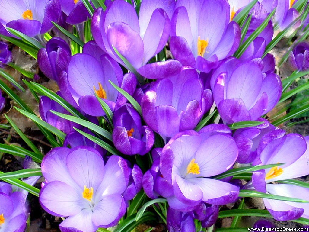 Wallpapers Flowers Gardens Backgrounds Nice Purple Tulips