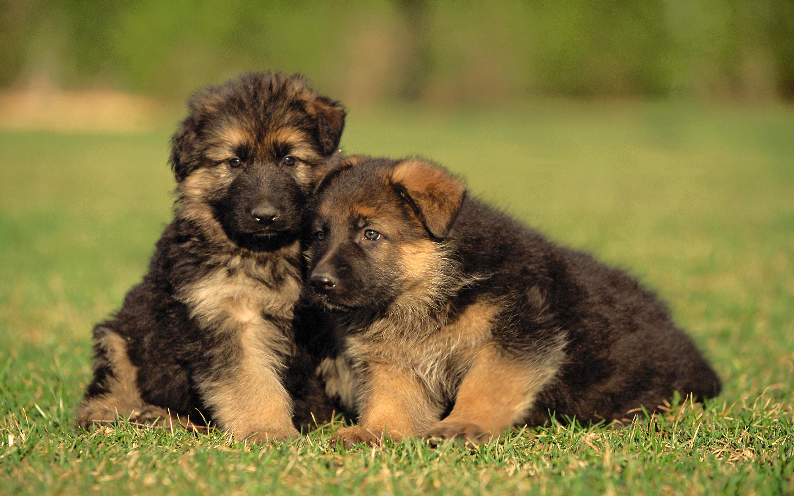 Adorable German Shepherd Puppies   Wallpaper High Definition High 2560x1600