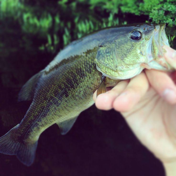 Smallmouth bass Fish Pinterest 736x736