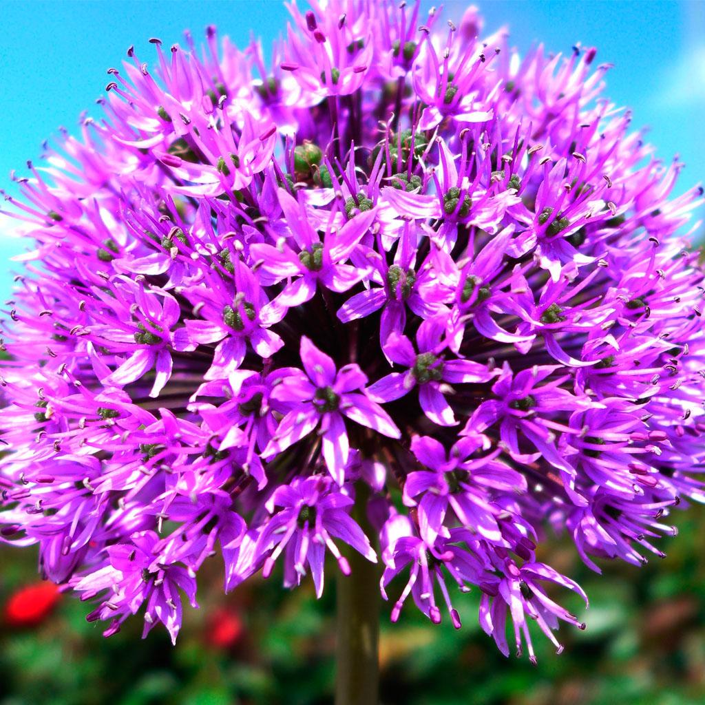 Purple Flower Wallpaper For IPhone