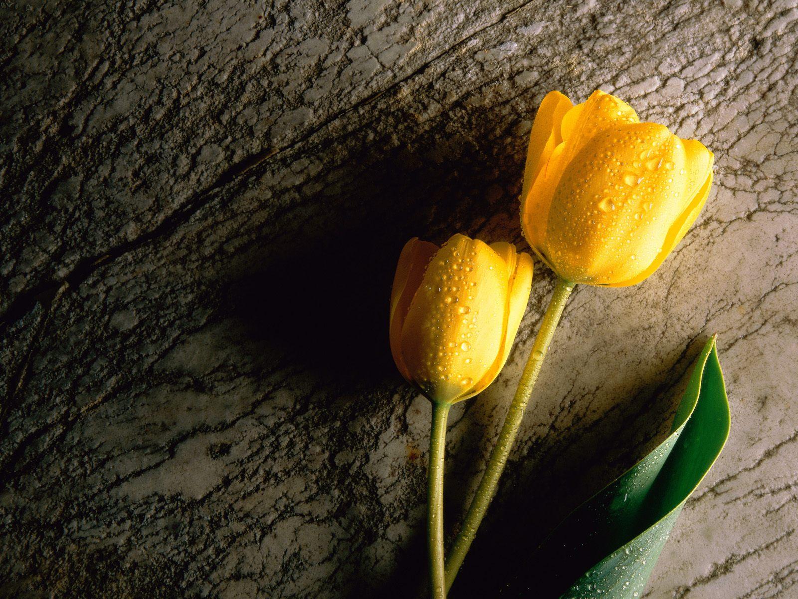 Fresh Yellow Tulip Wallpaper For IPhone 3274 Wallpaper Wallpaper 1600x1200