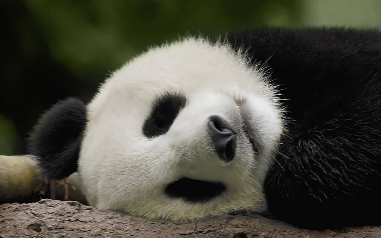 Unique Wallpaper Amazing Pandas 1280x800