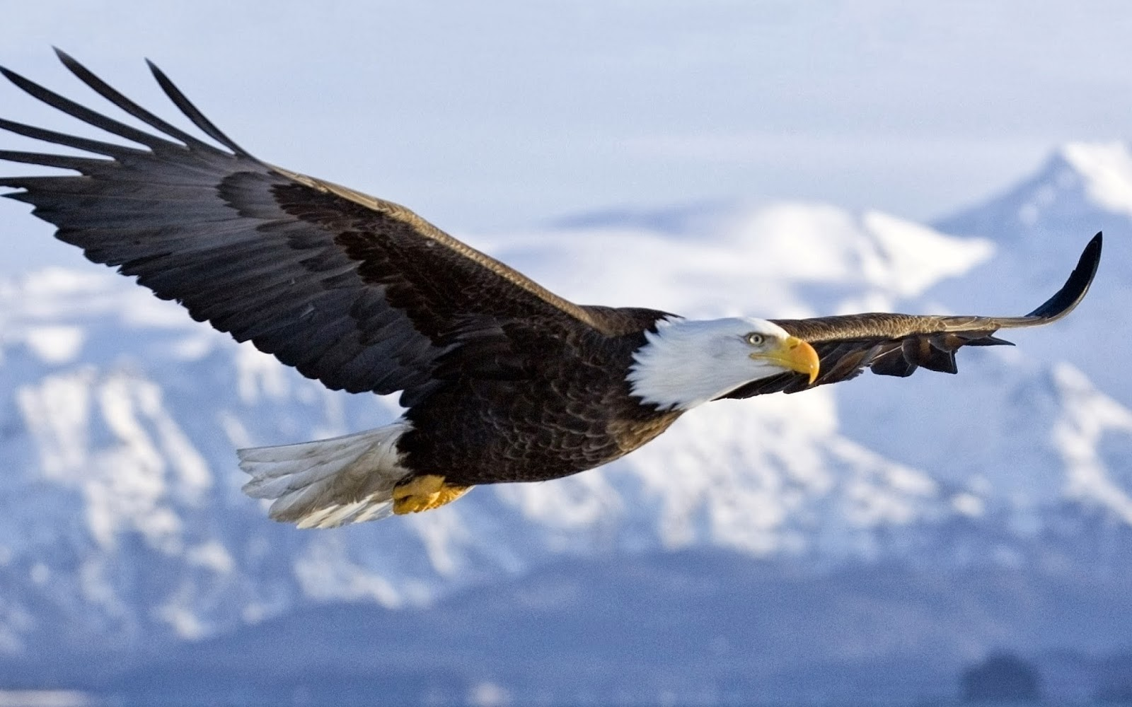 Wallpapers 4 u Download 3D Flying Bald Eagle HD Wallpaper 1600x1000