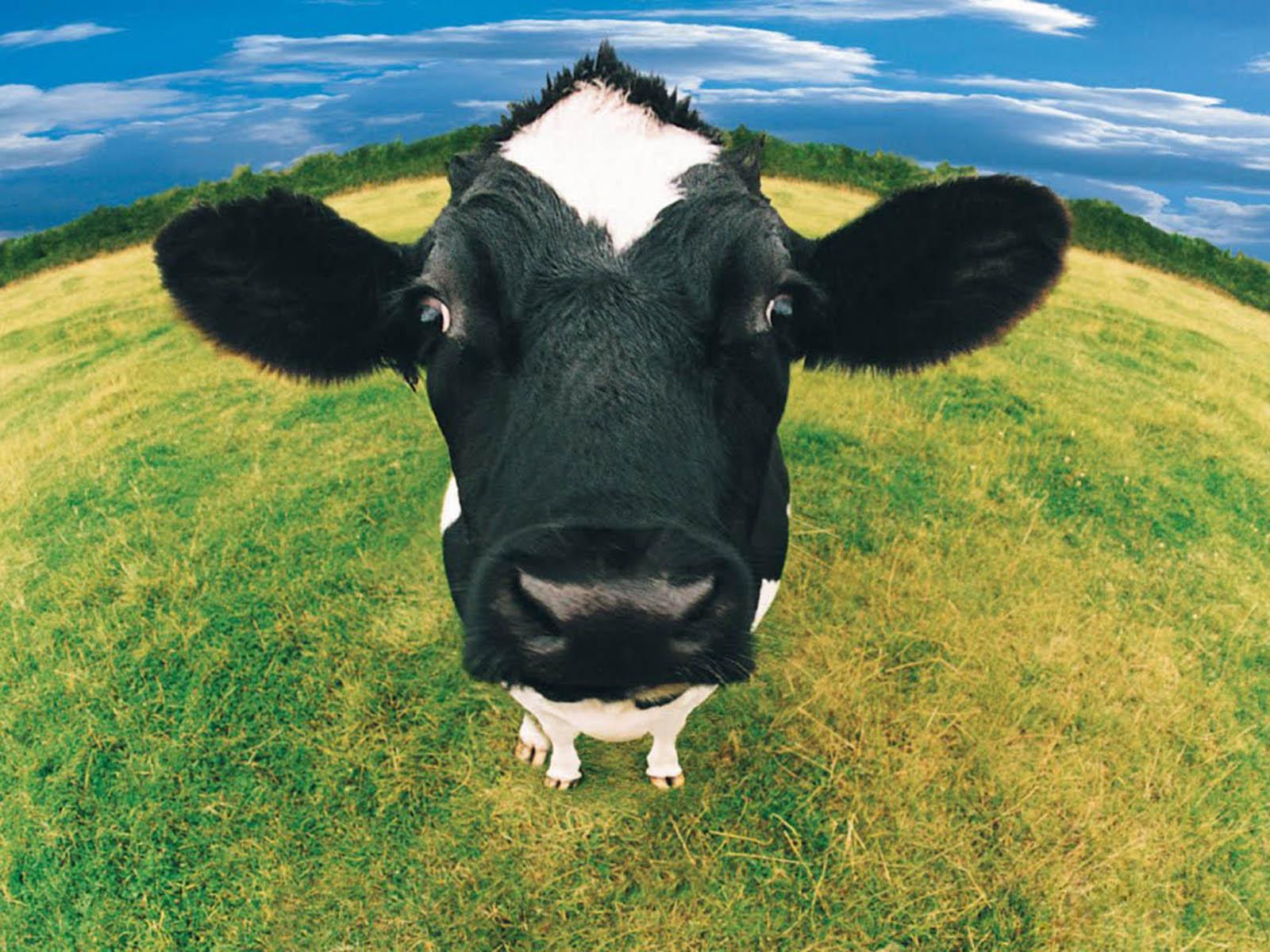 Funny Farm Animals Desktop Wallpaper 1600x1200