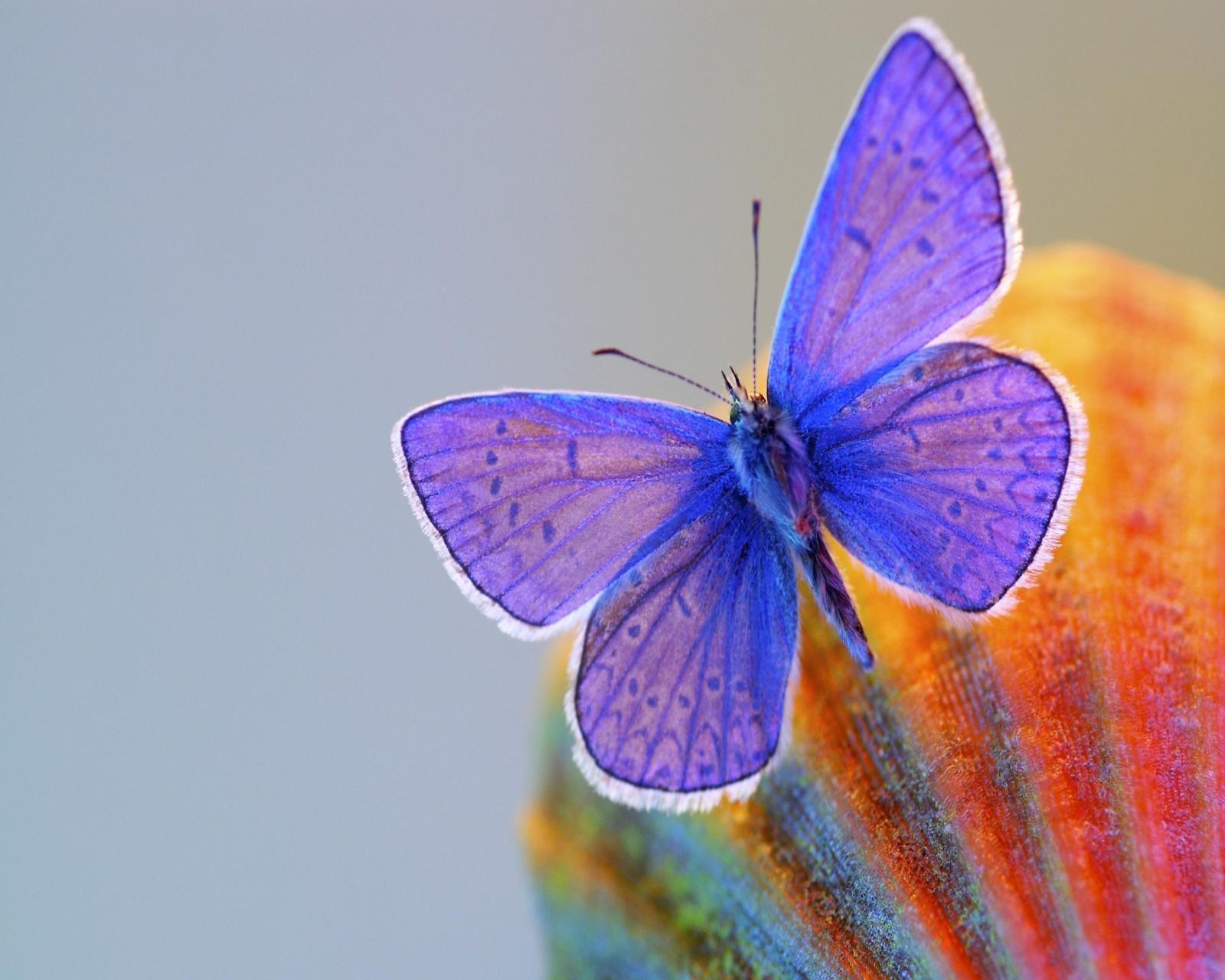 Butterfly Wallpaper 1600x1280