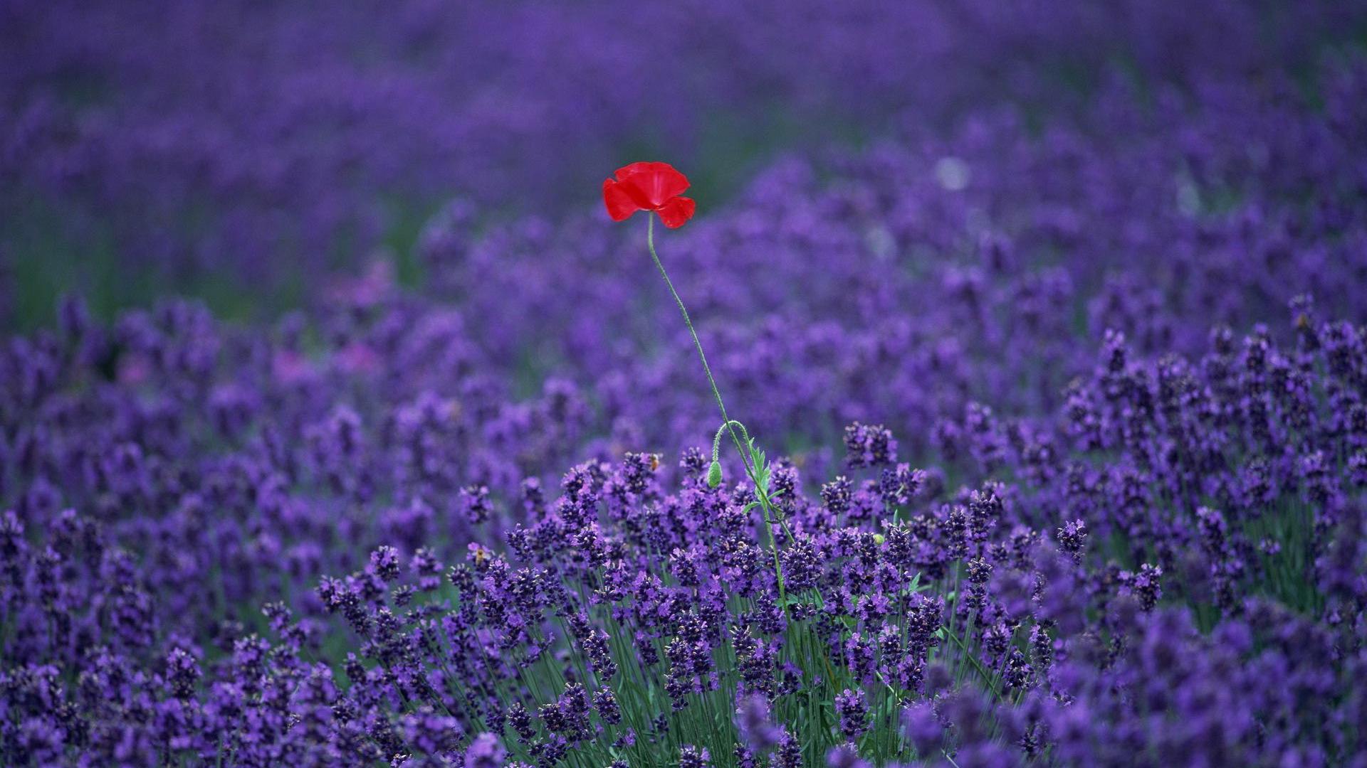 Цветы природа лаванда  № 1352075  скачать
