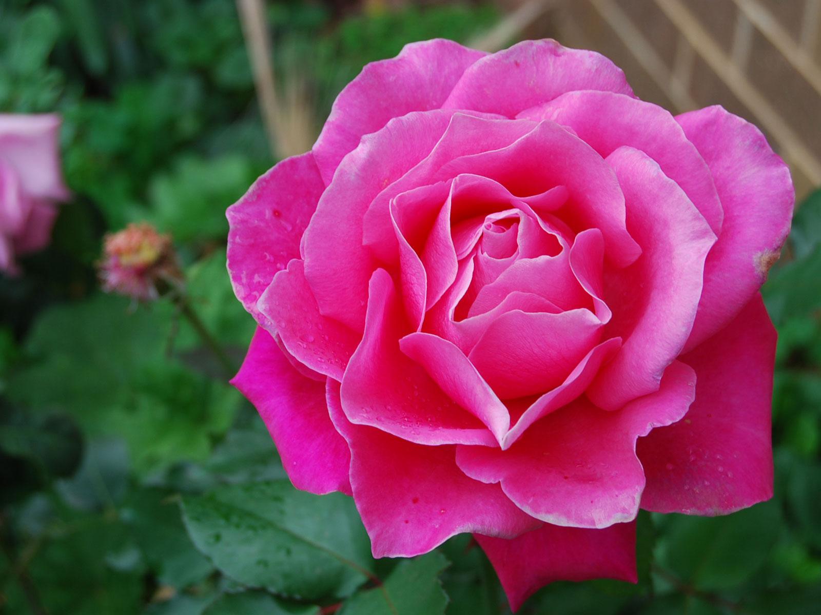 dark pink roses - HD1600×1200