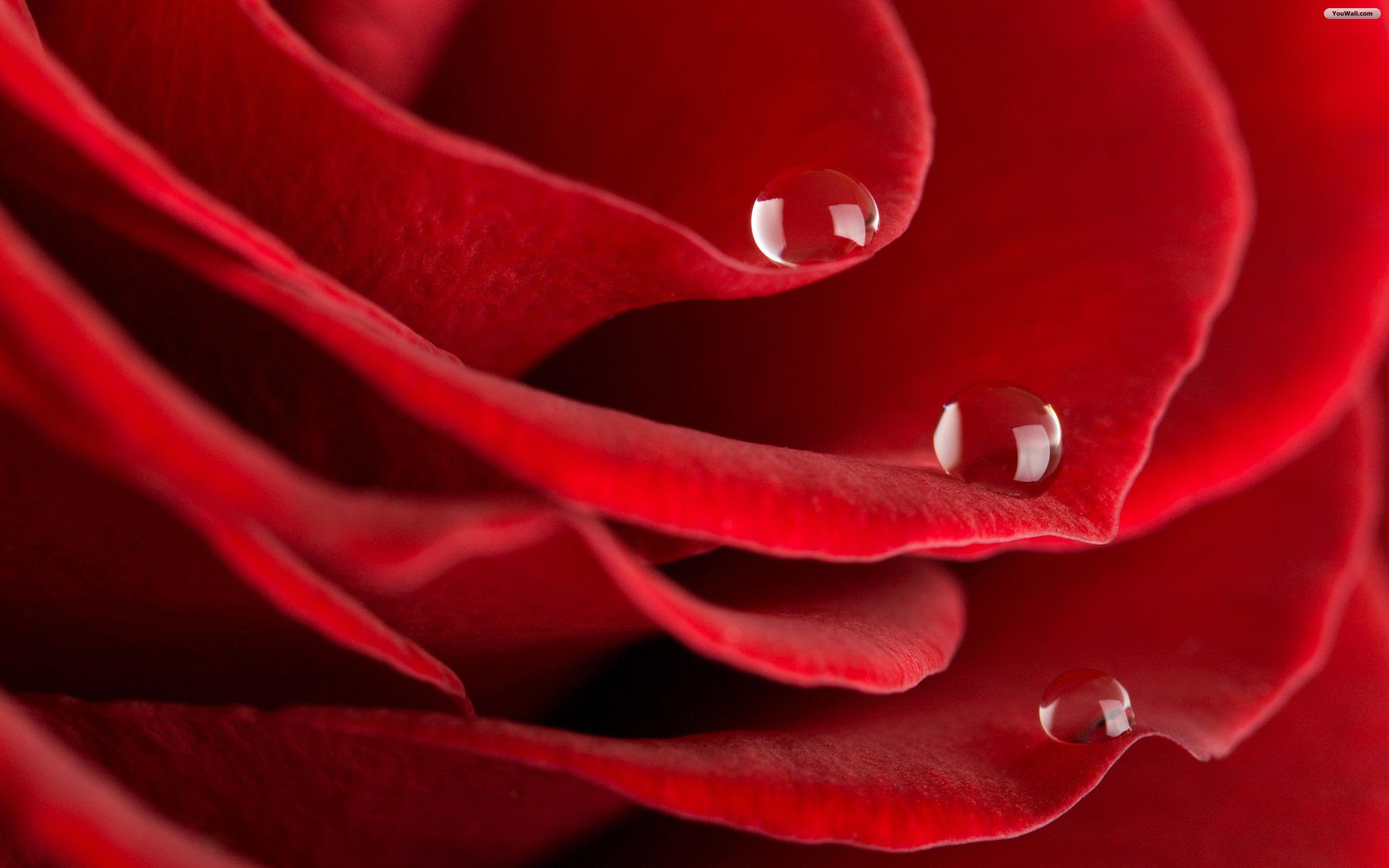 RED ROSES WALLPAPERS FREE Wallpapers Background images 2560x1600