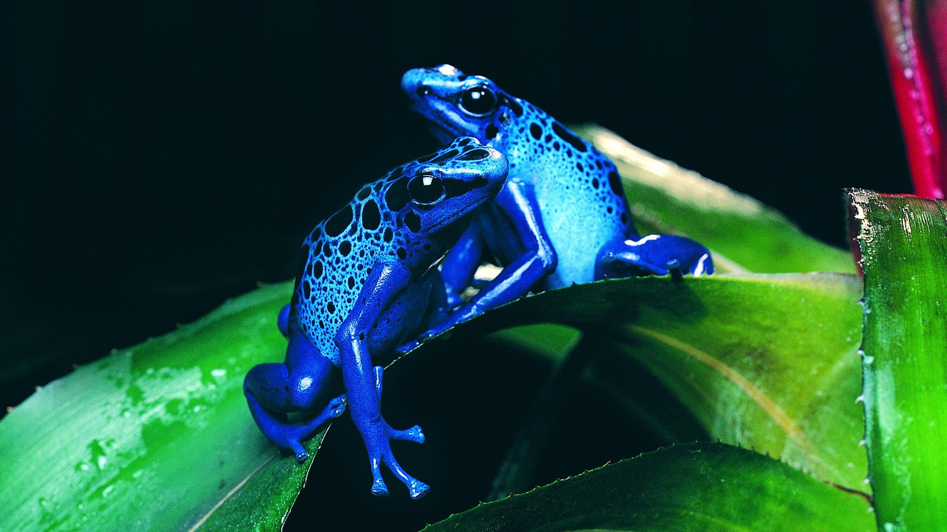 Wallpapers Full HD Wallpapers 1080p 5802 animals hd wallpapers frogs 1920x1080