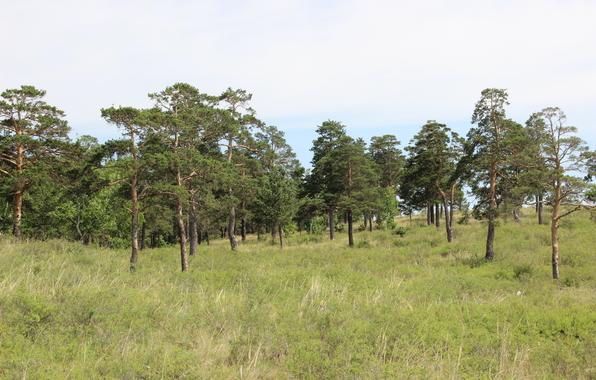 Wallpaper pine forest shchuchinsk wallpapers nature   download 596x380