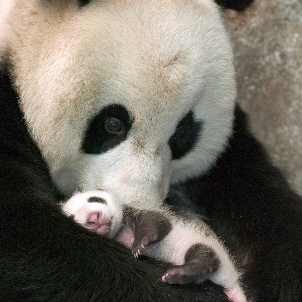 Baby Panda Bear Wallpaper Wallpapers Gallery 1024x1024