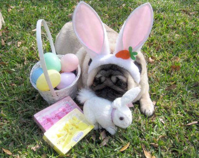 Nice Easter Pug photo and wallpaper Beautiful Nice Easter Pug 640x508