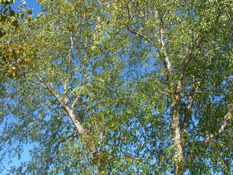 birch leaves wallpaper pagoda and footpath 1227458 wallpaper 75336 808x606
