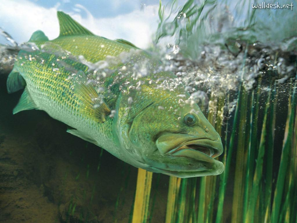 largemouth bass wallpaper 1024768 High Definition Wallpaper 1024x768