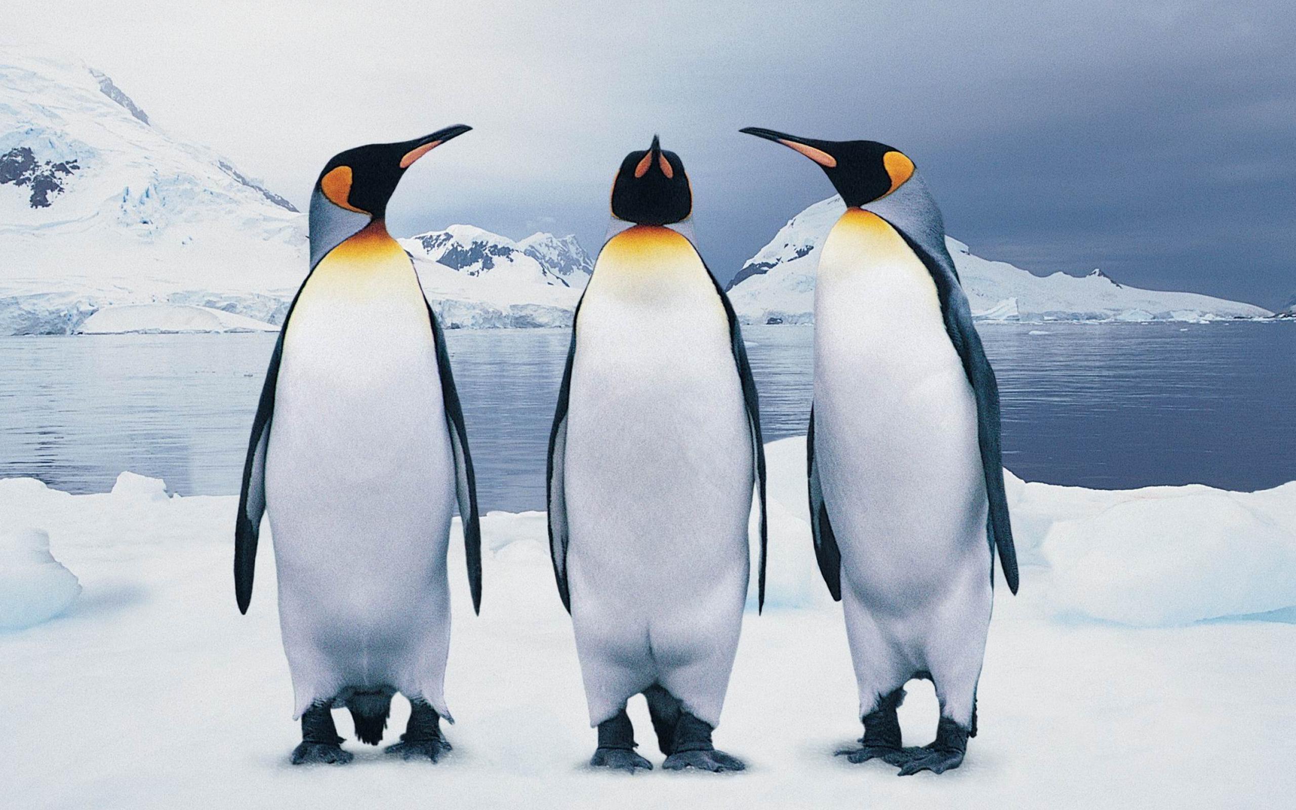 Penguin wallpaper 2560x1600 74936 2560x1600