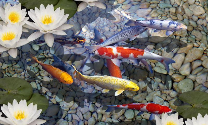 Live wallpaper windows 10 fish wallpapersafari for Koi pond window