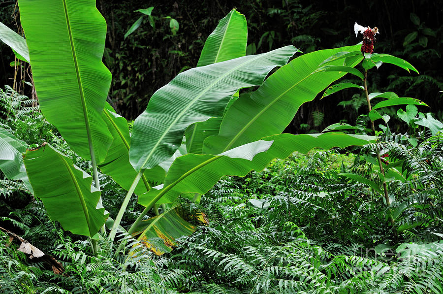 Banana Leaf Tree 900x597