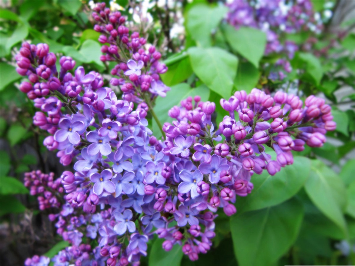 blossoms Syringa Lilac 1200x900