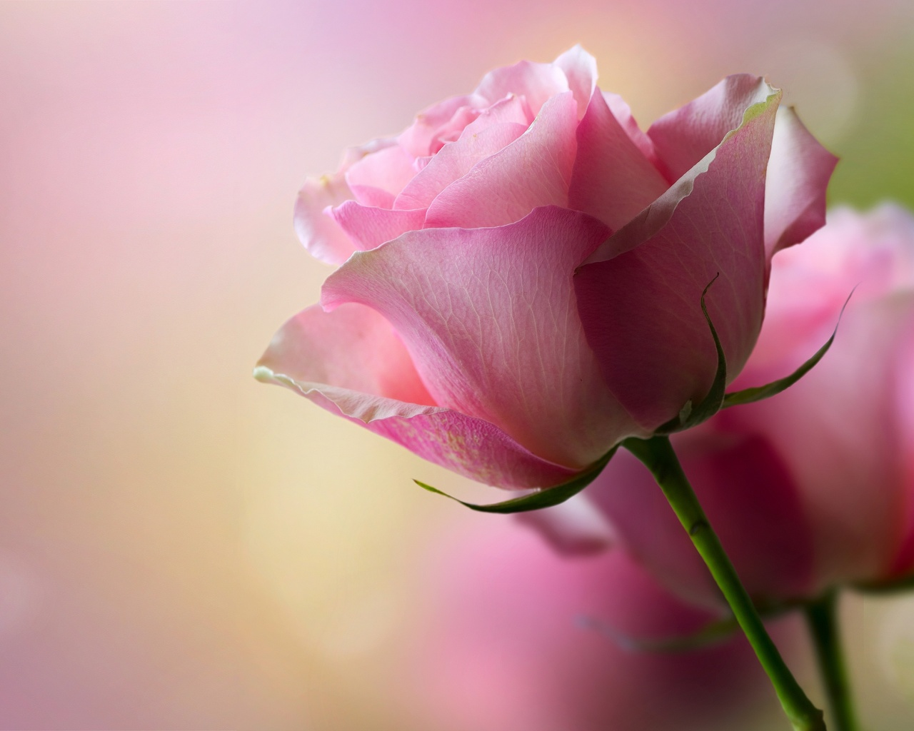 Pink Rose Wallpaper 11012 Hd Wallpapers in Flowers   Imagescicom 1280x1024