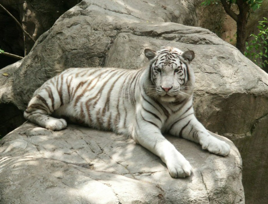 Beautiful Wallpapers white bengal tiger pictures 923x705