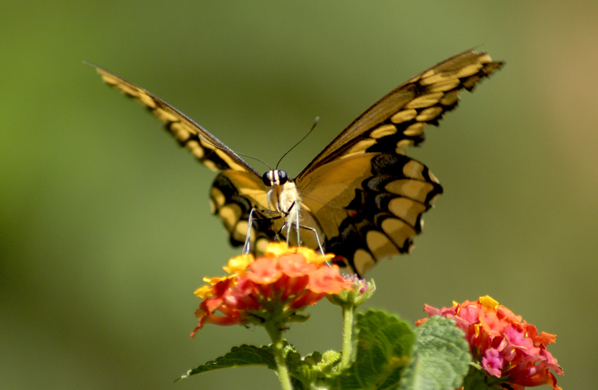 Very Funny All Wallpaper Animated butterfly wallpaper 1176x768