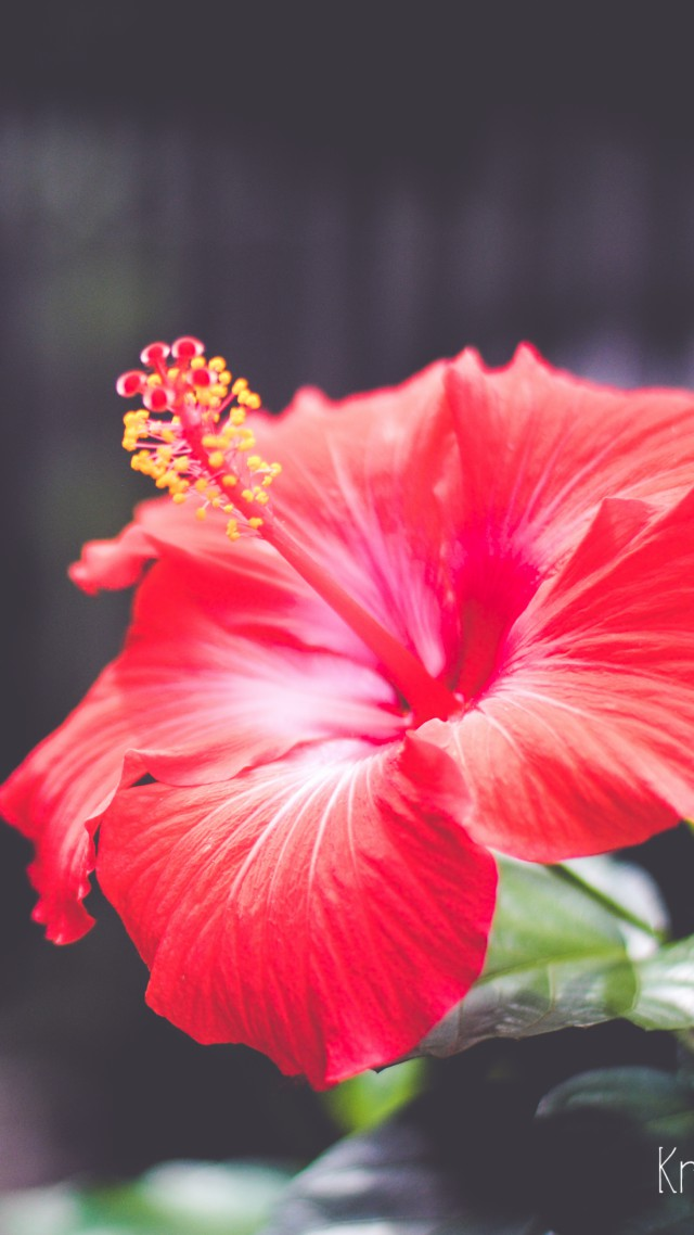 Wallpaper Flowers 5k 4k wallpaper Hibiscus red Nature 5475 640x1138