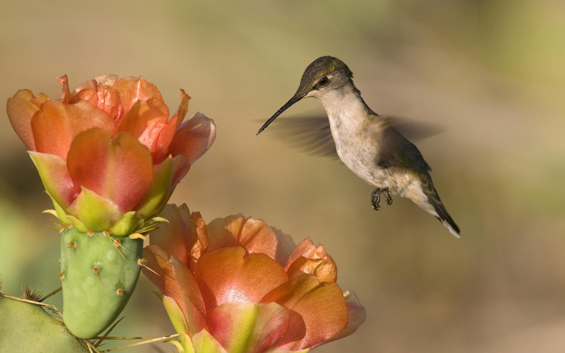 Flowers Birds Wallpaper 1920x1200 Flowers Birds Hummingbirds 1920x1200
