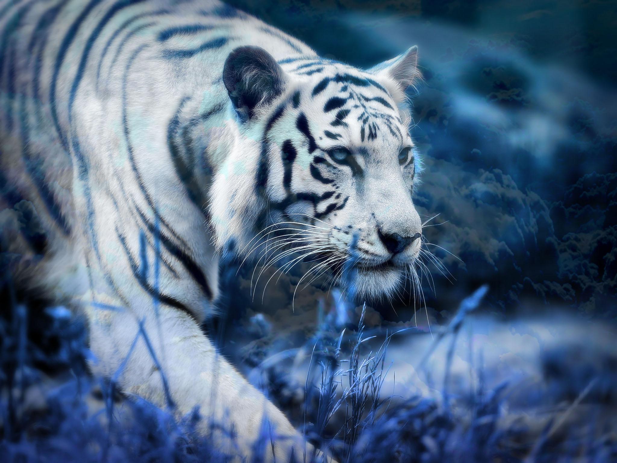 Tiger Wallpaper Black Oscargilaberte Com