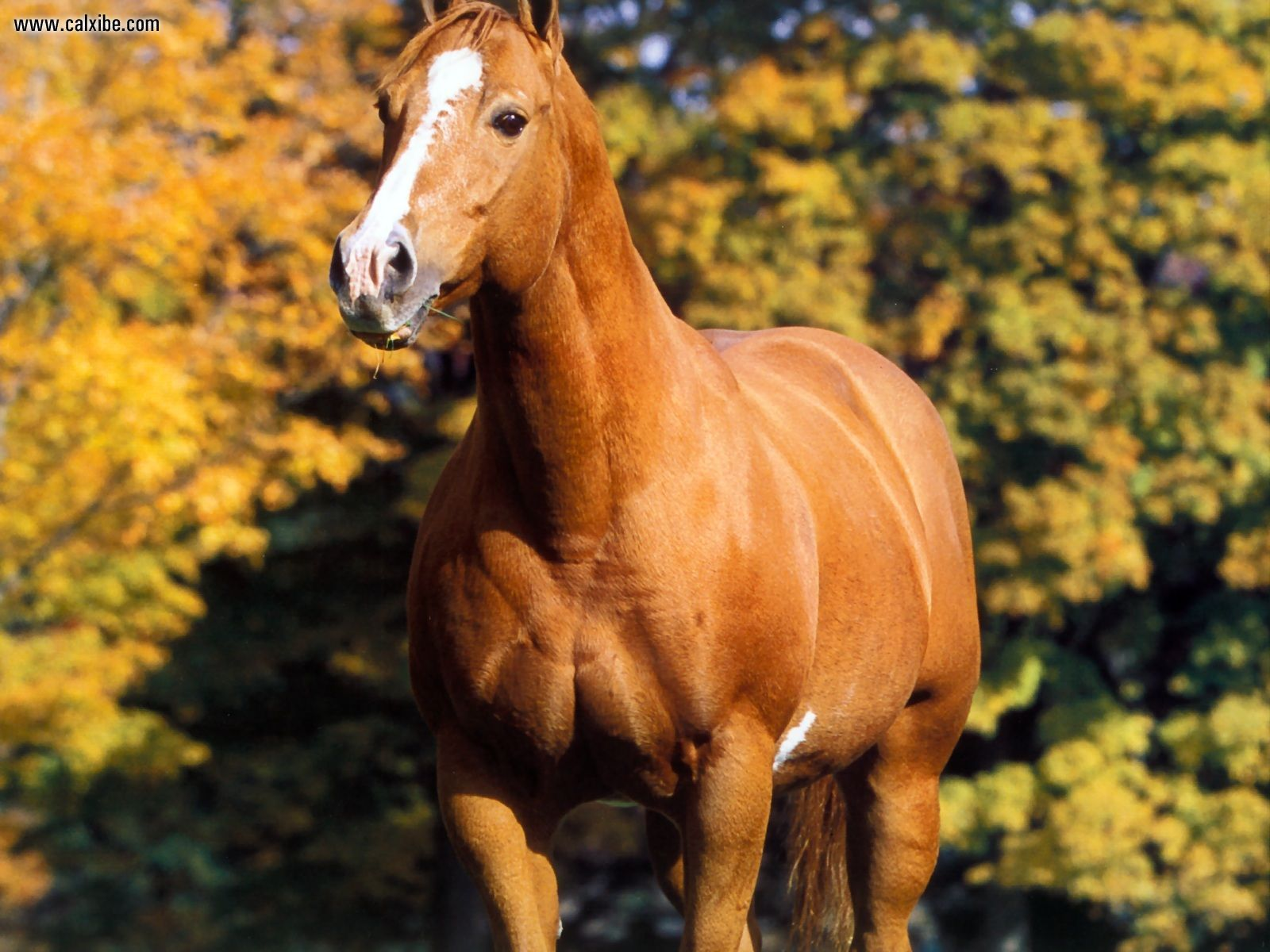 Free Download American Quarter Horse Imgust 1600x1200 For Your