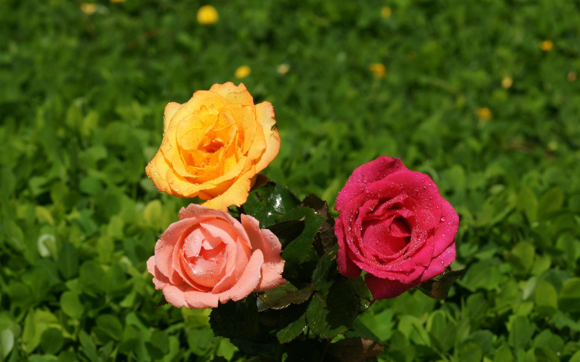 39+ Color Roses Wallpaper HD on WallpaperSafari