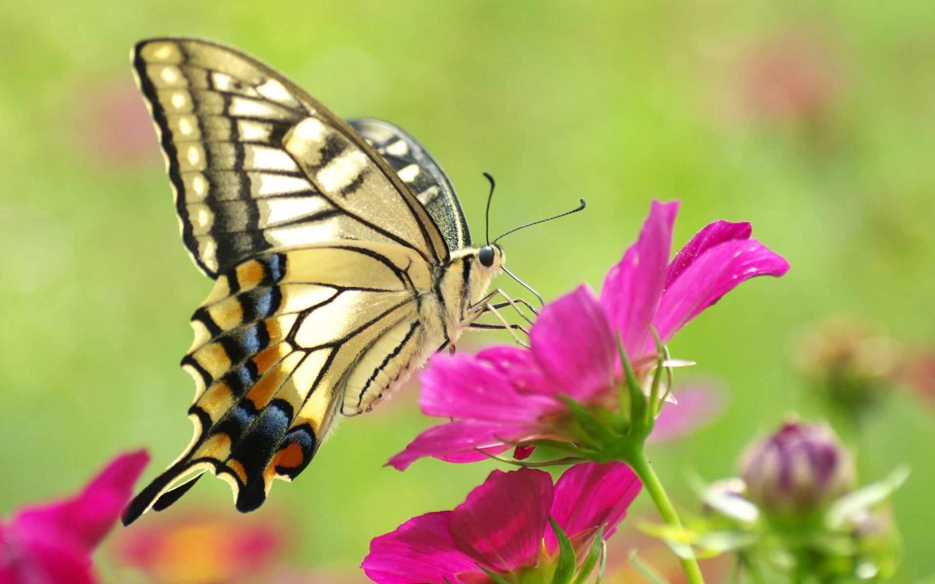 Mystery Wallpaper Butterfly On Flower 1920x1200