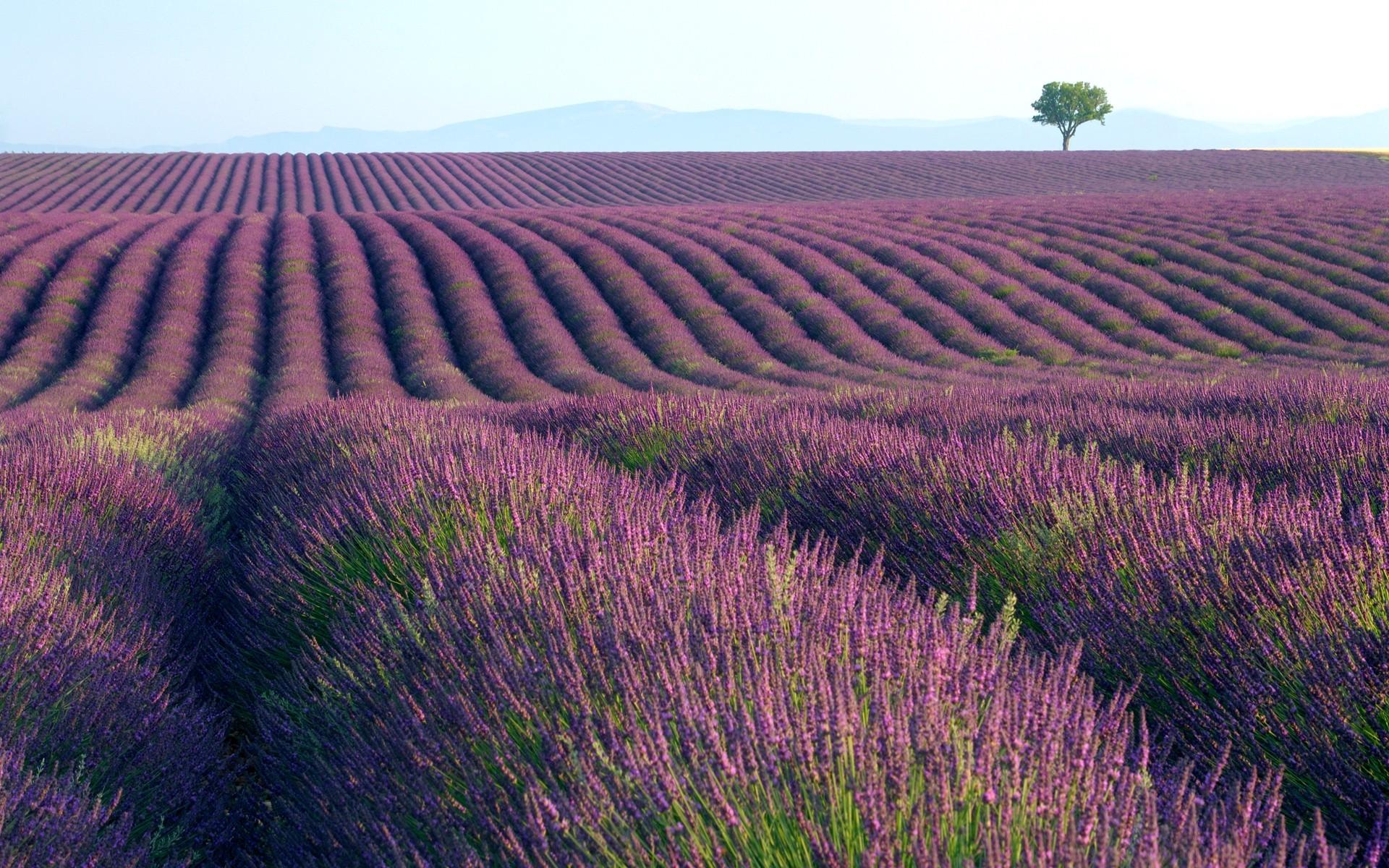 lavender field hd desktop - photo #24
