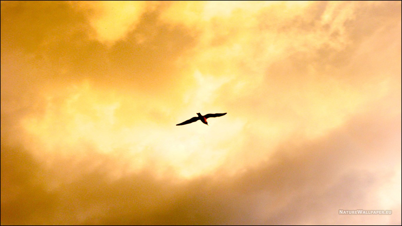 1366x768 wallpaper Flying Bird Wallpaper Background 1366x768