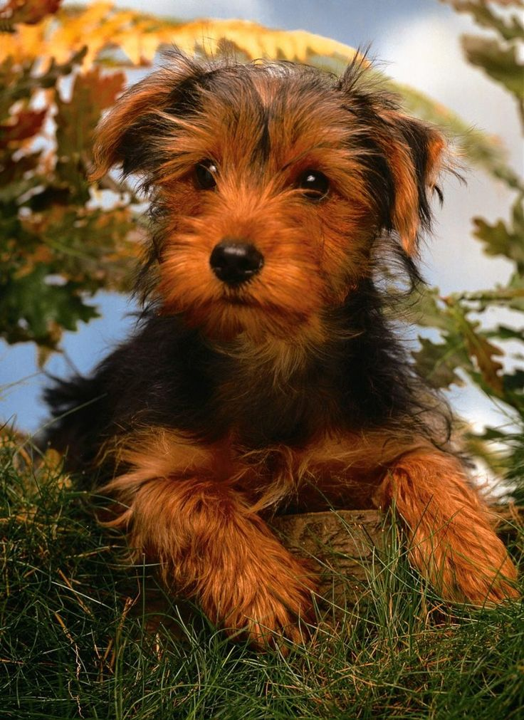 airedale dog pictures photo and wallpaper Beautiful Nice 736x1011